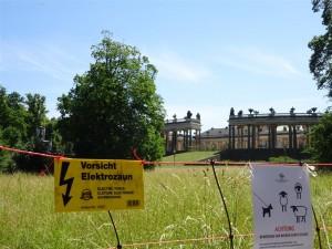 Hinter dem Schloss Sans souci weiden 29 Pommersche Landschafe